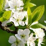 Biologische klok van plant ontdekt