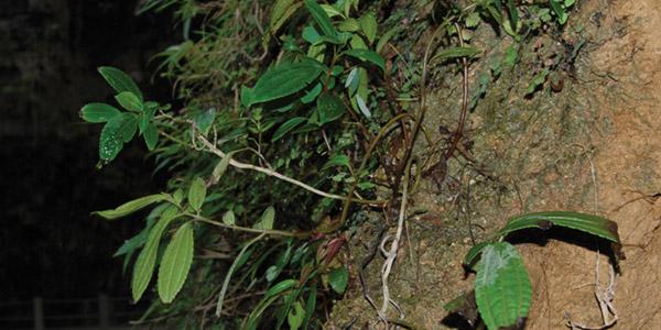 Pilea guizhouensis. Foto: PhytoKeys 19: 51–66, doi: 10.3897/phytokeys.19.3968.