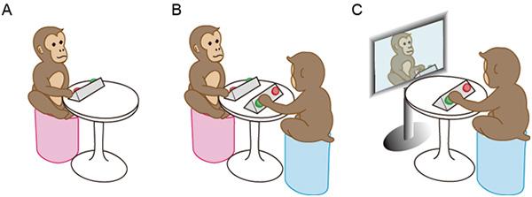 A: apen leren om op de knop te drukken. B: apen drukken op de knop terwijl ze een andere aap zien. C: apen drukken op de knop terwijl ze videobeelden van een andere aap zien. Afbeelding: Riken.jp.