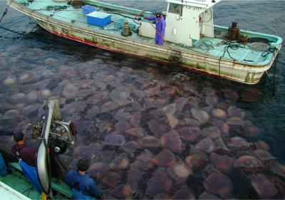Een net vol kwallen in plaats van een net vol vis, in Japan. Afbeelding: Dr. Shin-ichi Uye.