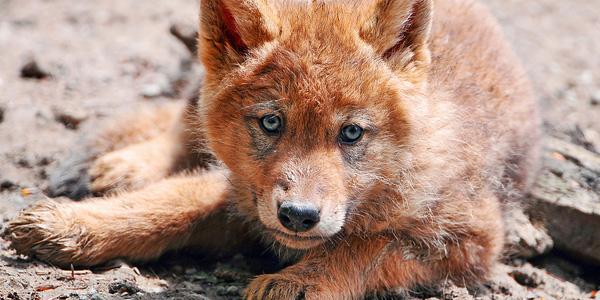 wolvenpup