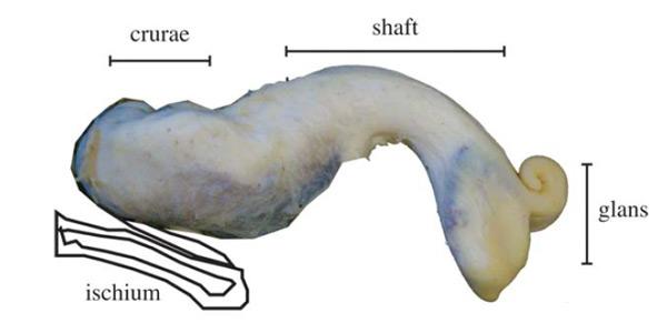 De penis van de alligator, met de penisschacht (shaft) en de eikel (glans). Afbeelding: The Anatomical Record - DOI: 10.1002/ar.22644.