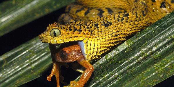 Atheris Ceratophora wordt vanwege zijn hoorntjes ook wel gehoornde bosadder genoemd. Foto: Michele Menegon / ZSL