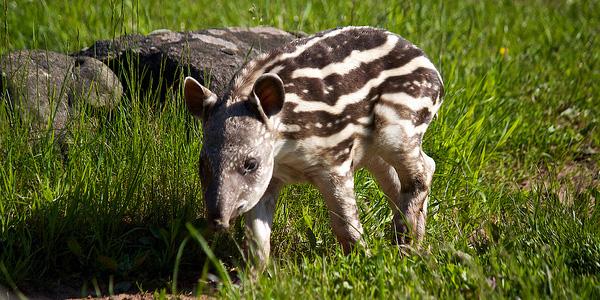 Een jonge tapir. Foto: Michelle Bender (cc via Flickr.com).