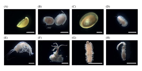Organismen die op en nabij het skelet van de dwergvinvis werden aangetroffen. Plaatje F laat de worm zien die botten verteert. Foto's: via Deep-Sea Research II: Topical Studies in Oceanography - https://dx.doi.org/10.1016/j.dsr2.2013.01.028.