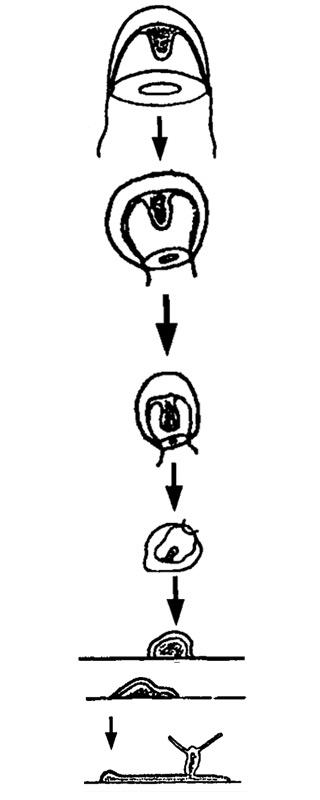 Hoe een kwal weer een poliep wordt. De kwal trekt zijn tentakels in, wordt kleiner, kan op een gegeven moment niet meer zwemmen, verandert in een cyste en uiteindelijk in een poliep. Afbeelding: Viol. Bnll. 190: 302-3 12. (Juni, 1996).
