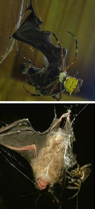 Foto's: Nyffeler M, Knörnschild M (2013) Bat Predation by Spiders. PLoS ONE 8(3): e58120. doi:10.1371/journal.pone.0058120.
