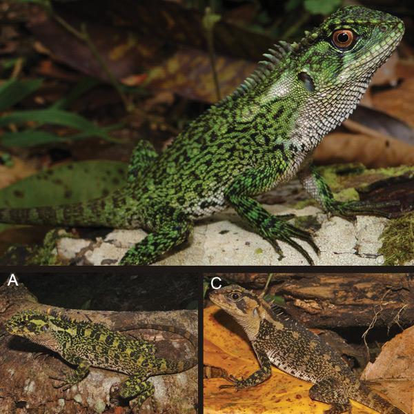 Boven een jonge, mannelijke E. binzayedi. Onder twee vrouwtjes. Foto: ZooKeys 277: 69–90, doi: 10.3897/zookeys.277.3594.