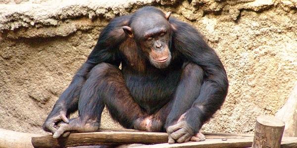 mensaap chimpansee