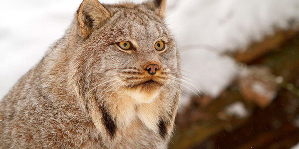 canadese lynx