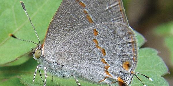 vlindersoortclose
