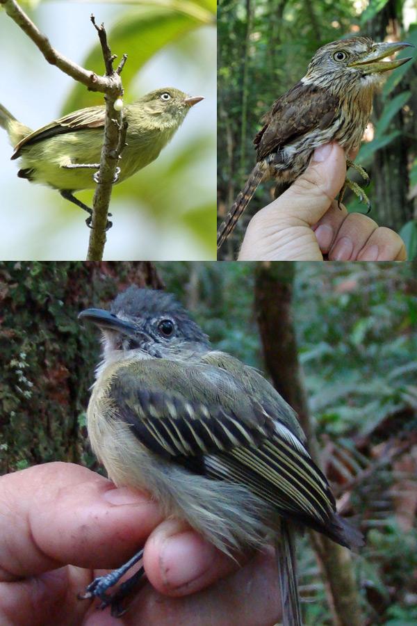 Drie nieuwe vogelsoorten op een rijtje. Foto's: Fabio Schunck.