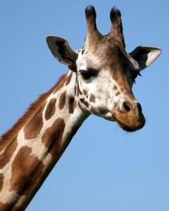 Ook de giraf heeft knobbels op zijn schedel.