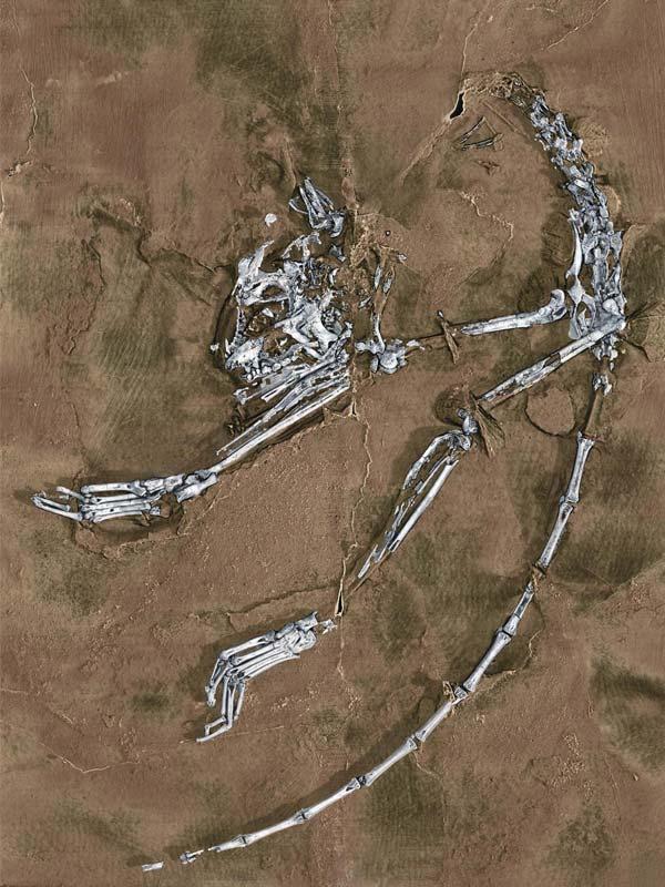 Een reconstructie van het skelet van de primaat. Afbeelding: Xijun Ni / Chinese Academy of Sciences, Paul Tafforeau / European Synchrotron Radiation Facility.