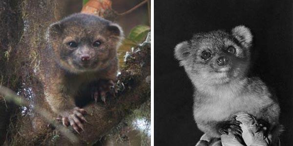 De Latijnse naam van de olinguito luidt Bassaricyon neblina. Foto links: Mark Gurney. Foto rechts: I. Poglayen-Neuwall.