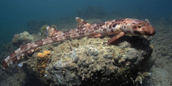 wandelende haai