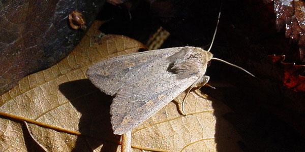 nachtvlinder