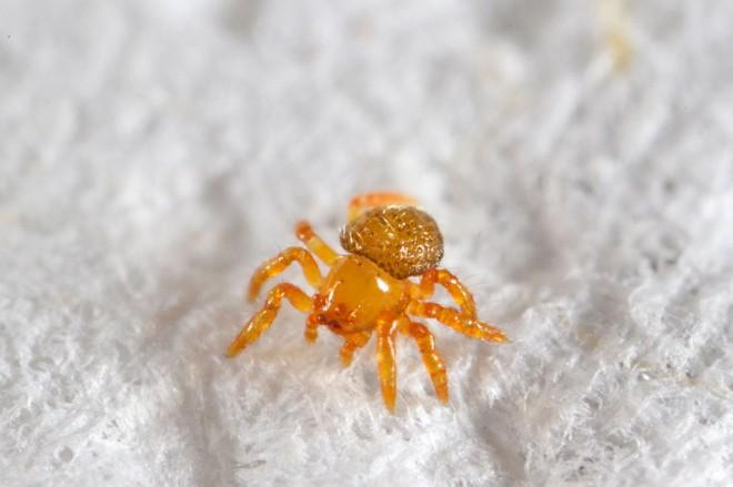 Eén van de drie jonge spinnetjes. Foto: Jeff Cremer/PeruNature.com