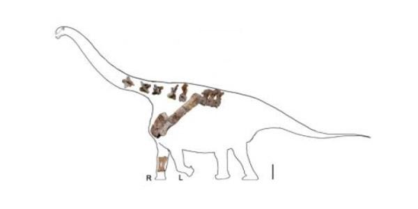 Yongjinglong datangi, de dinosaurus behoort tot de Titanosauria, een groep waartoe ook de Alamosaurus (bovenaan dit artikel) behoort. Afbeelding: University of Pennsylvania.