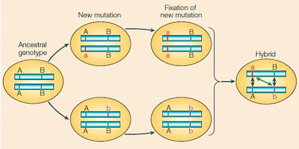 Het Dobzhansky Muller model. Afbeelding: Wu & Ting, 2004.