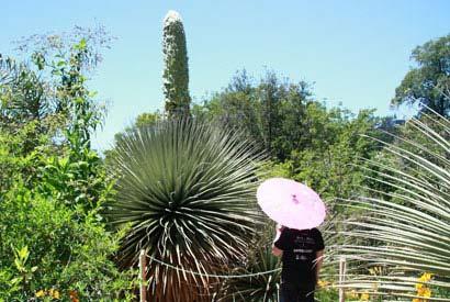 P. raimondii in de botanische tuinen van de universiteit van Californië (Berkeley). Afbeelding: UC Botanical Garden.