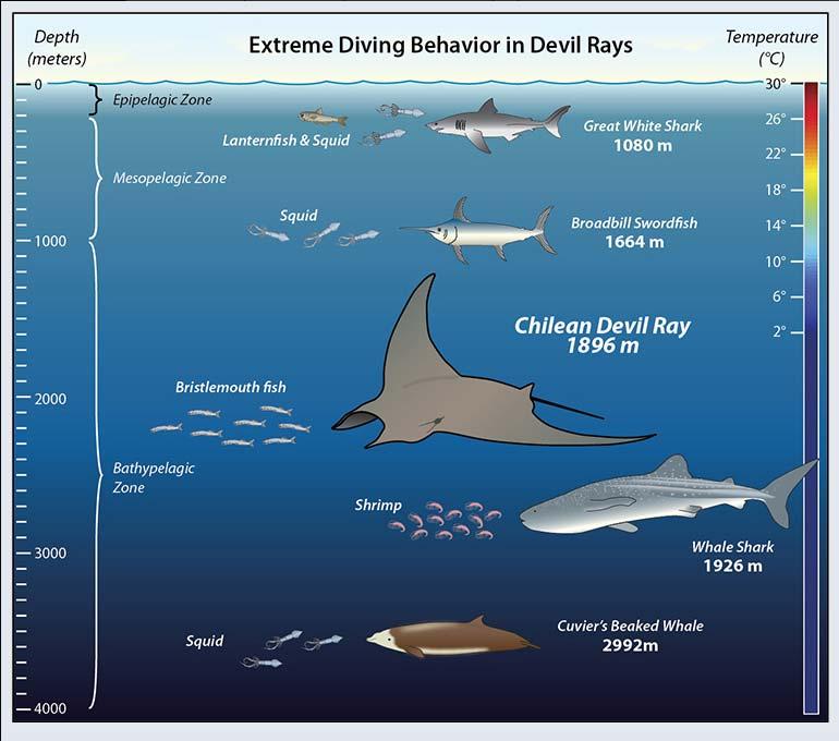 Duivelsroggen duiken soms naar bijna twee kilometer diepte. Daarmee behoren ze tot de diepste duikers in de oceaan. Afbeelding: Jack Cook / Woods Hole Oceanographic Institution.