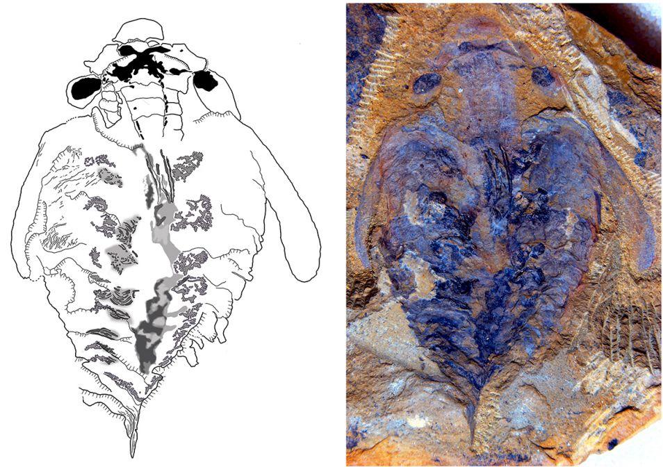 Links een tekening van de Lyrarapax, rechts een foto van het fossiel. Zie je de X-structuur bovenin? Dit is het brein van de Lyararapax.