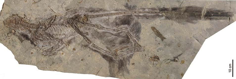 De fossiele resten van de nieuwe dinosaurussoort. Afbeelding: L. Chiappe / Dinosaur Institute / NHM.