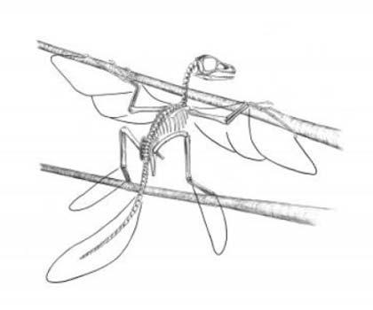 Scansoriopteryx. De lijnen laten de reikwijdte van zijn veren zien. Afbeelding: Stephen A. Czerkas.
