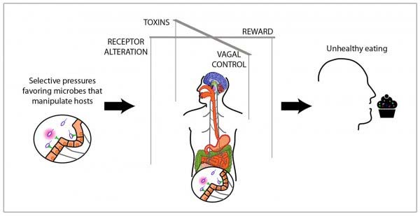 Deze afbeelding laat zien hoe bacteriën ons kunnen 'overhalen' om voedingsstoffen tot ons te nemen waar zij het beste bij gedijen, denk aan vet en suiker. Afbeelding: UCSF.