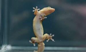 Wist je dat een gekko op een glazen plaat kan klimmen dankzij vanderwaalskrachten?