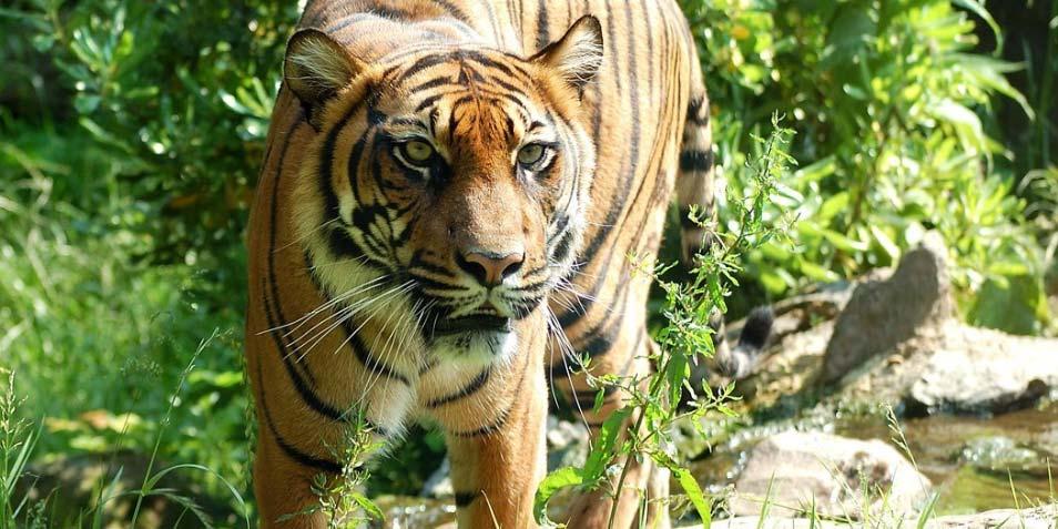 tijger.jpg