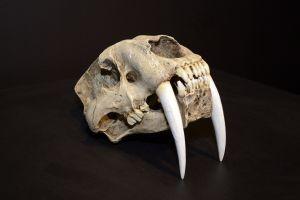 De schedel van een Sabeltandtijger. Klik voor een vergroting. Foto gemaakt door Evelien de Roode
