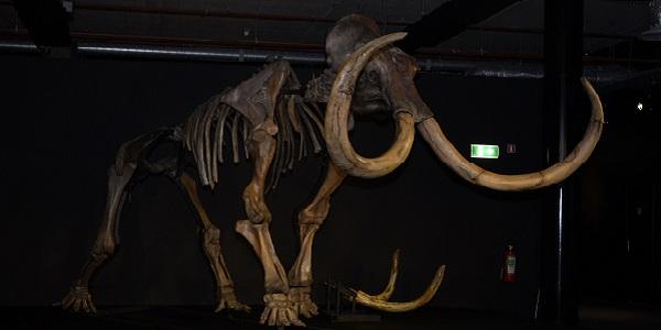 Het skelet van een mammoet. Foto gemaakt door Evelien de Roode