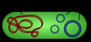 Het verschil tussen bacterieel DNA en plasmiden.
