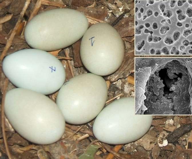 Het verschil tussen een net gelegd (en nog niet behandeld ei) en eieren die al wel van een verfje zijn voorzien, is goed te zien. Het blauwige ei (7) is net gelegd, terwijl bijvoorbeeld ei 1 al van een verfje is voorzien. De inzetten laten de 'putjes' in het ei zien waarin de bacteriën zich kunnen verzamelen.