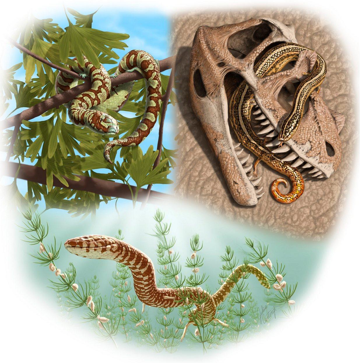 Drie van de vier ontdekte slangen. Boven: Portugalophis lignites en Diablophis gilmorei. Onder: Parviraptor estesi. Afbeelding: Julius Csotonyi.