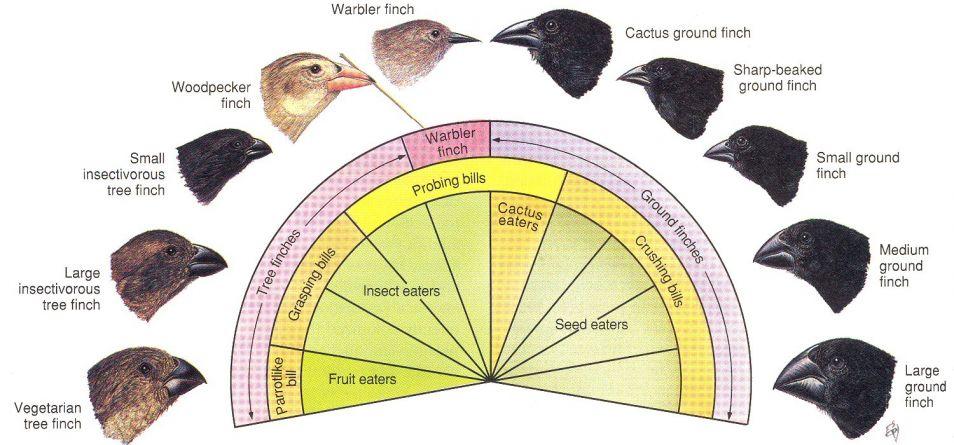 De snavel van een darwinvink is in een paar miljoen jaar tijd enorm veranderd.