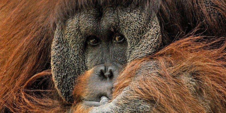 rsz_orangutan-571462_1280