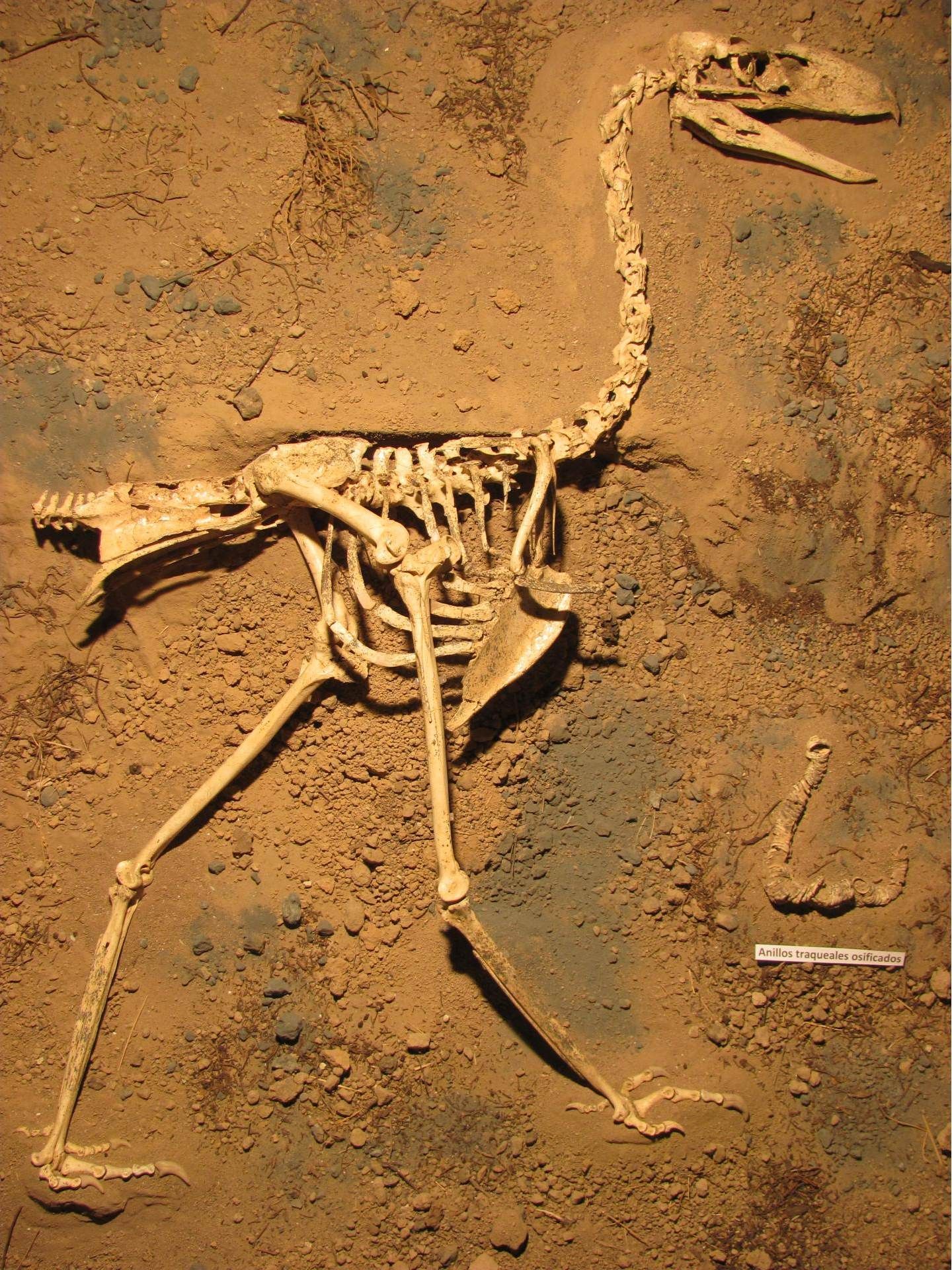 De resten van de schrikvogel Llallawavis scagliai. Afbeelding:  M. Taglioretti / F. Scaglia.