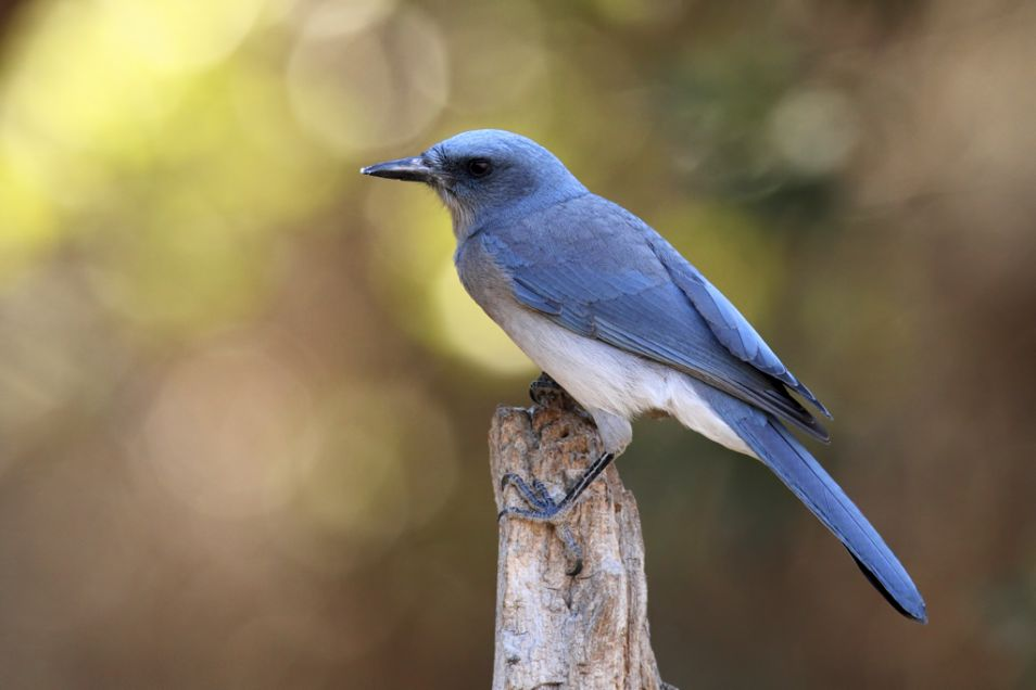 Mexican_Jay_Aphelocoma_wollweberi_3