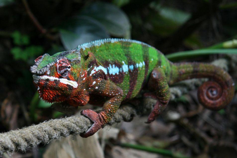 panterkameleon