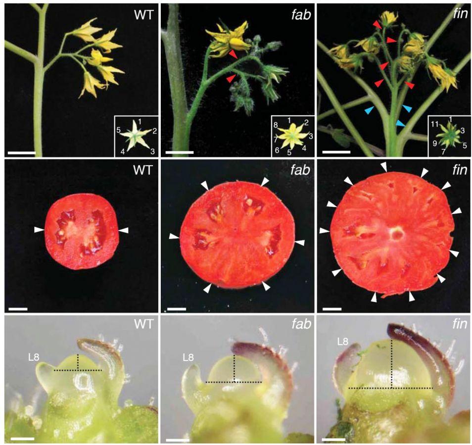De linkerkolom toont een normale tomatenplant, namelijk de bloemvorming, de vrucht en het meristeem. De middelste en de rechterkolom tonen twee genetisch gemodificeerde soorten. Let vooral op de grootte van het vruchtvlees.