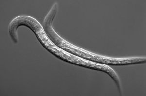 C. elegans-wormen