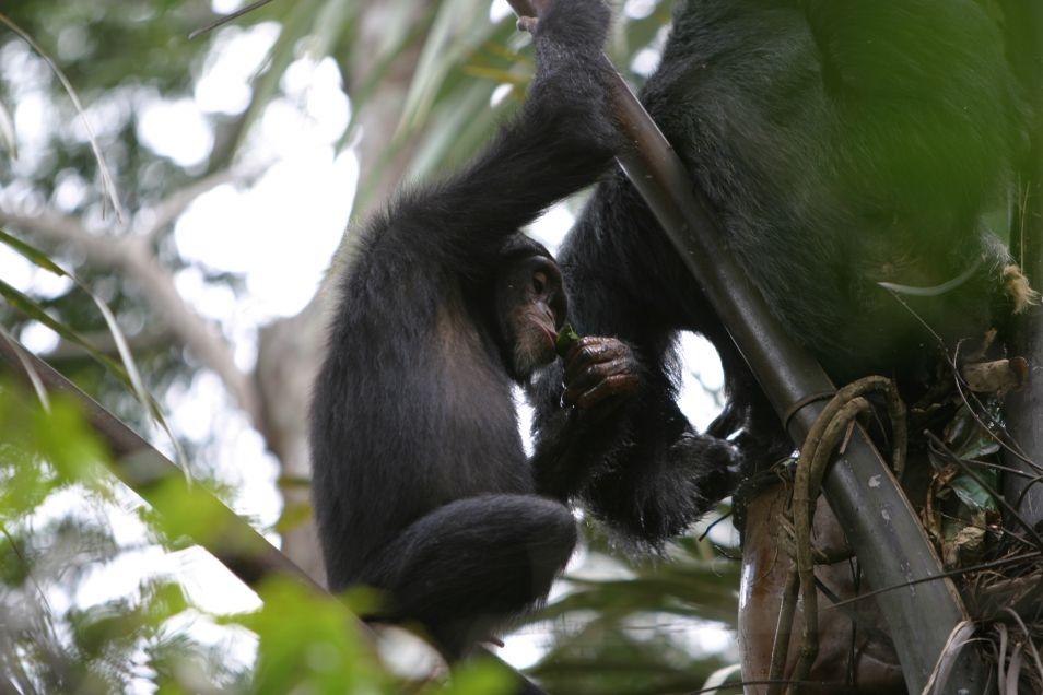 chimpansee-drank