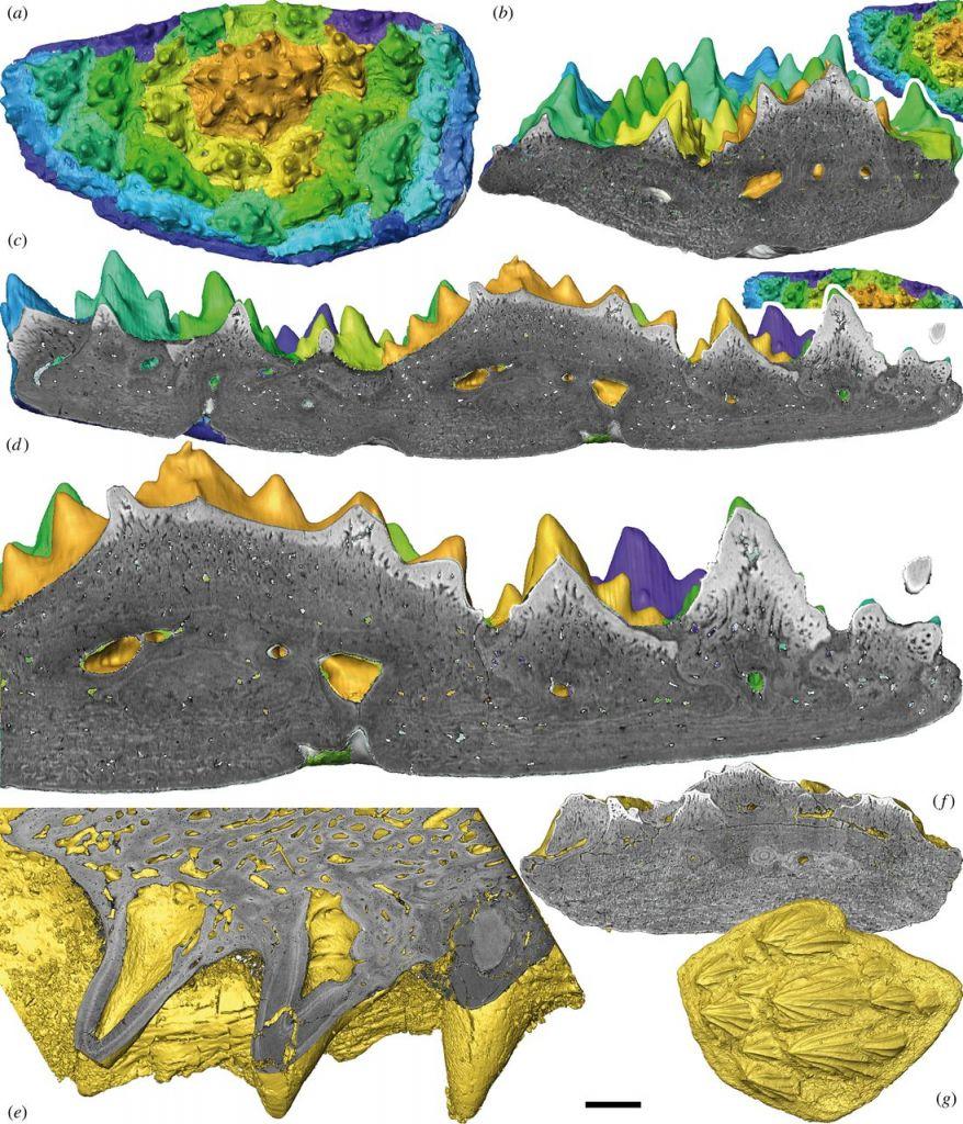 Een analyse van de tandplaten van een Romundina stellina.