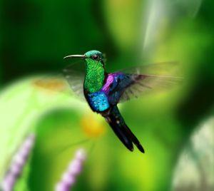 De kolibrie heeft een piepklein brein, maar is toch relatief slim.