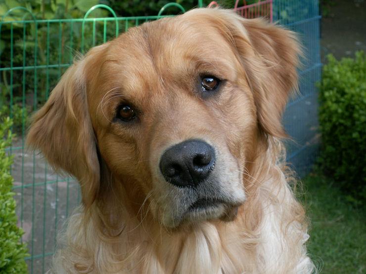 Als je huilt, lijkt het misschien wel eens of je hond jou troosten wil. Nieuw onderzoek wijst erop dat honden in zo'n situatie inderdaad met ons meeleven.