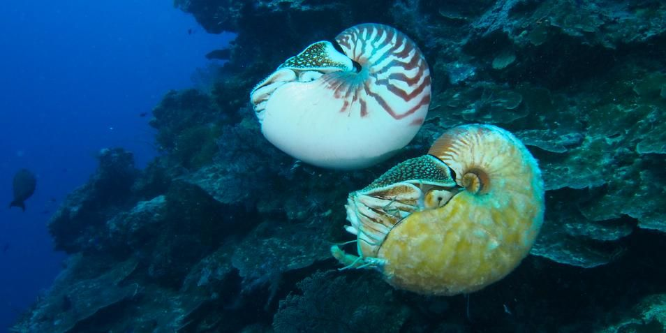 De twee inktvissen. Boven: Nautilus pompilius. Onder: de zeer zeldzame Allonautilus scrobiculatus.
