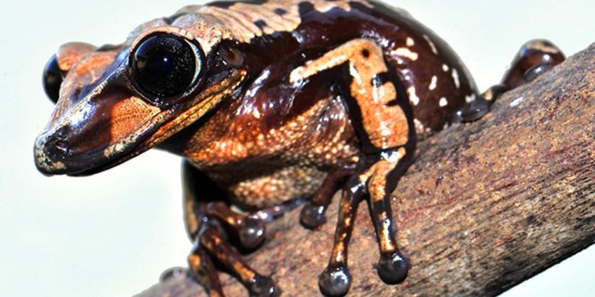 kikker a. brunoi